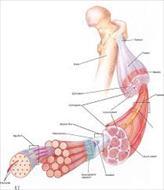 پاو وینت تخمین نیروی عضلات در هنگام حرکت بر پایه مدل